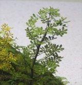 [Kamizukuri] [A-5-35] Oak (1/35 scale)