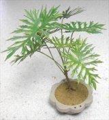 [Kamizukuri] [G-21] Horsehead Philodendron